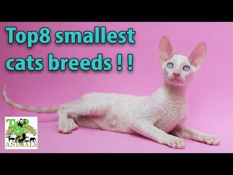 Top8 smallest cats breeds !!