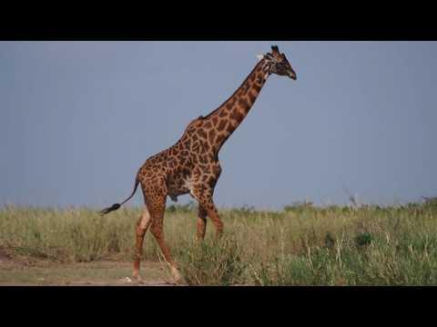 PC298777   Giraffe Amboseli NP