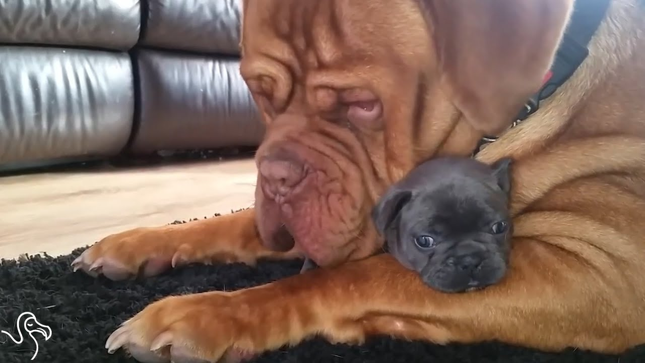 Giant Dog Falls In Love With Tiny Puppy