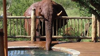 Cheeky Elephant Drinks Water from Luxury Swimming Pool