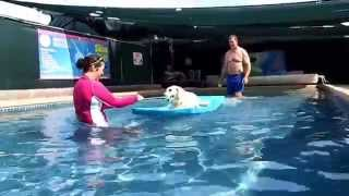 Labrador Retriever Beagle Mix Ajax Swings Around Pool On Float With Kong Dog Toy Tennis Ball  6715
