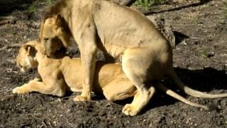 Selous Lion & Lioness Mating 24 12 12