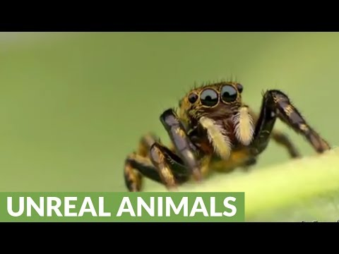 Little Jumping Spider from the Ecuadorian Amazon rainforest