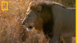 Batalla de REYES. Lucha entre LEONES | National Geographic en Español