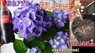 秋色アジサイの挿し芽から開花まで!Hydrangea Propagate from cuttings🌱