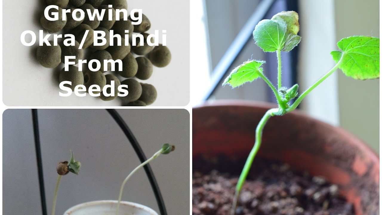 Growing Okra Plant Bhindi From Seeds In A Pot Hindi With English Subles Time Lapse