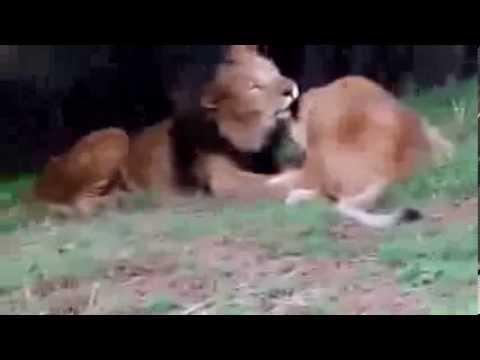 Любовь льва и львицы ма шаа Аллах