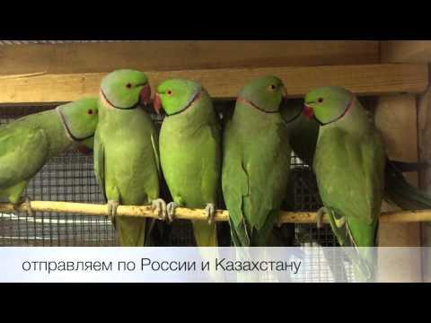 Попугай ожереловый (Psittacula krameri) продажа оптом