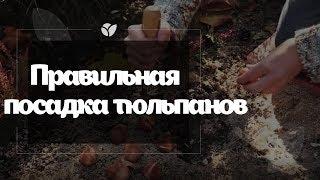 Правильная посадка тюльпанов | Agro-market.ua