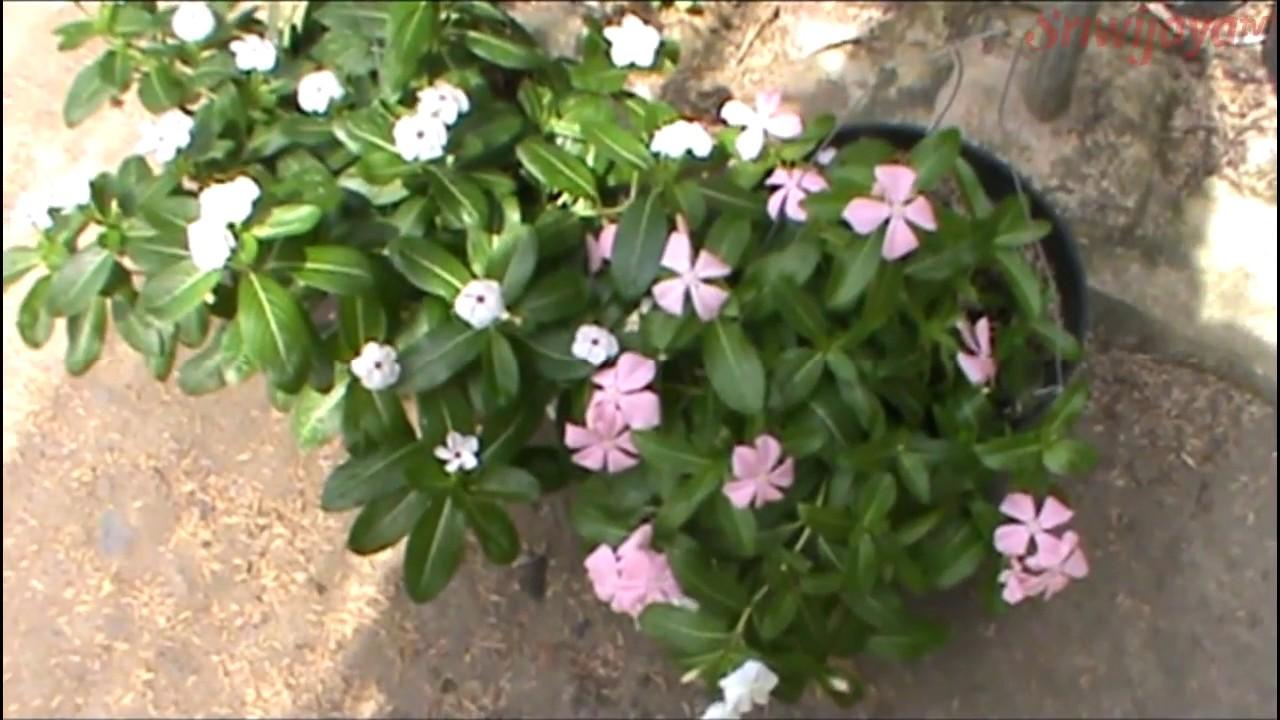 Melirik Budidaya Tanaman Bunga Vinca Di Palembang Youtube