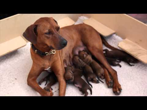 Ridgeback Pups from birth to 8 weeks old