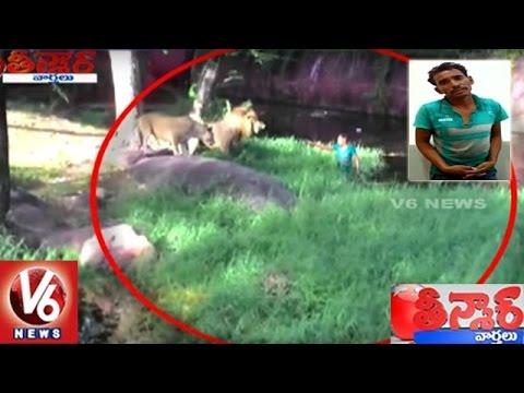 Drunk Man Enters Into Lions Enclosure At Hyderabad Zoo Park | Teenmaar News | V6 News