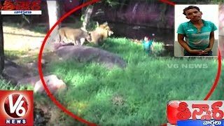 Drunk Man Enters Into Lions Enclosure At Hyderabad Zoo Park | Teenmaar News | V6 News