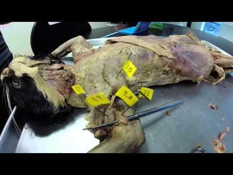 Cat Muscles Practice Bio 165