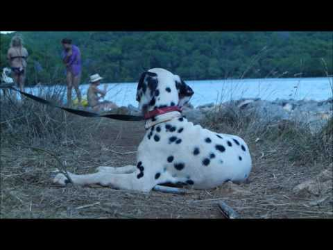 Some moments from holidays in Dalmatia with Dalmatian dogs