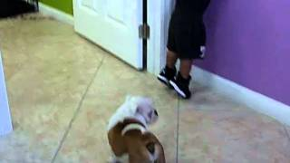 Puppies For Sale In Miami ; Puppies To Go ,inc.