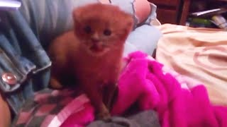 rescue-kitten-named-tito-turns-out-to-be-a-wild-puma