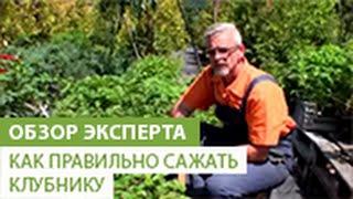 Как правильно сажать клубнику(В этом видео наш эксперт расскажет Вам о том, как правильно сажать клубнику. Если вы хотите приобрести расса..., 2014-06-27T08:36:34.000Z)