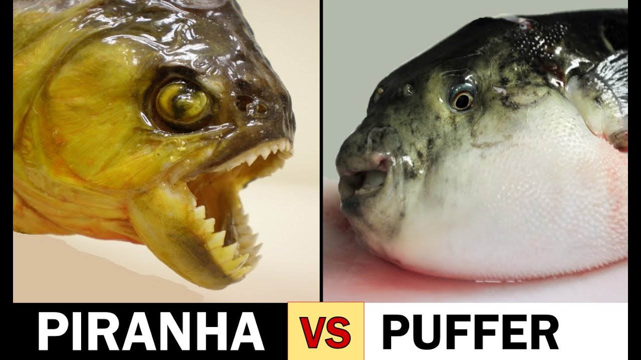 Piranha scissors vs puffer fish slicers youtube for Where are the fish biting