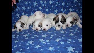 Coton Puppies For Sale - Eliza 10/21/19