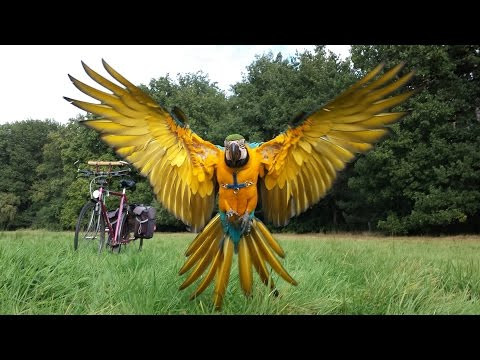 Blue and Gold Macaw free flight