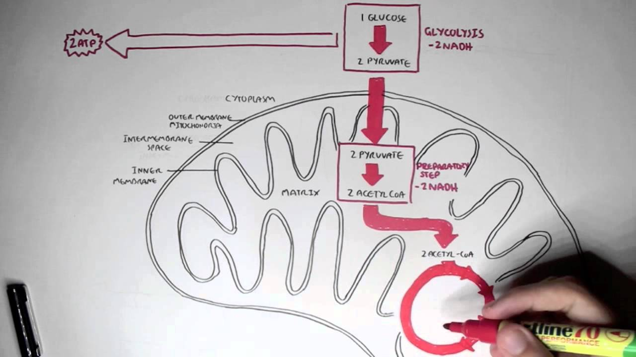 Human metabolism map cellular respiration glycolysis and the youtube premium ccuart Image collections