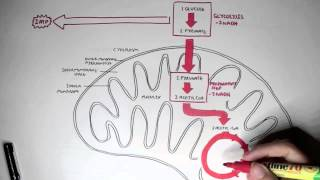 Human Metabolism Map - Cellular Respiration (Glycolysis and The Krebs Cycle)