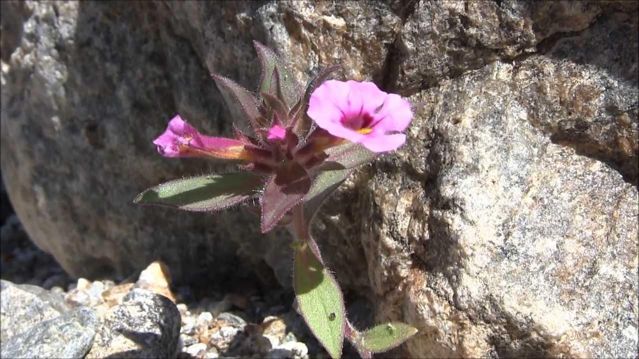 Desert Pink Monkey Flower Youtube