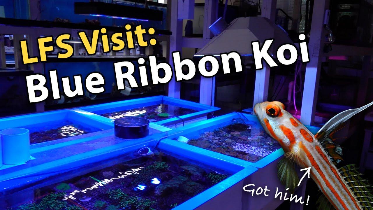 lfs visit blue ribbon koi found my yasha goby 39 s 3rd