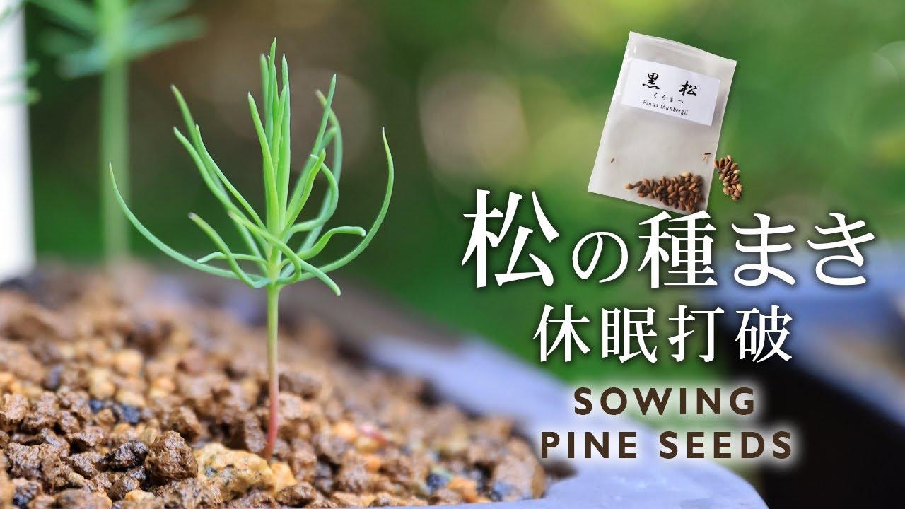 松の種まき 休眠打破のやり方 【Bonsai diary 盆栽日記 6/13】初心者の簡単盆栽の作り方 育て方 黒松 Pine Seeds bonsai beginner EOS R5 撮影