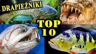 10 Najbardziej Krwiożerczych Ryb w Akwarystyce