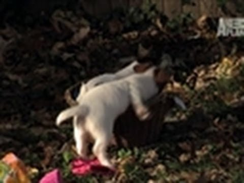 Jack Russell Play Time | Too Cute