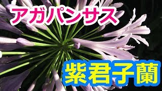 愛の花・アガパンサス(紫君子蘭)の美しい花姿