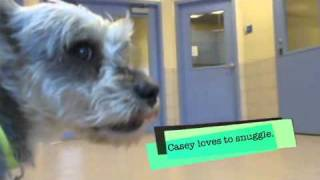 Casey A Miniature Schnauzer Mix Available For Adoption At The Wisconsin Humane Society