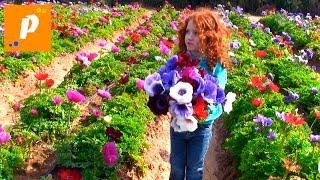 Едем собирать клубнику, цветы анемоны и просто побыть на природе  strawberries , flowers anemones
