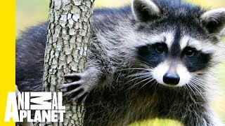 Raccoon Climbs A 25-Story Building In Broad Daylight! thumbnail