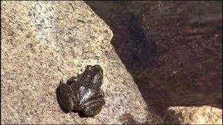 Saving the yellow-legged frog | Yosemite National Park