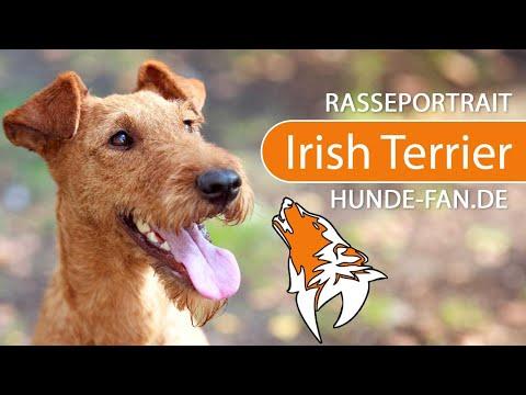 Irish Terrier [2019] Rasse, Aussehen & Charakter
