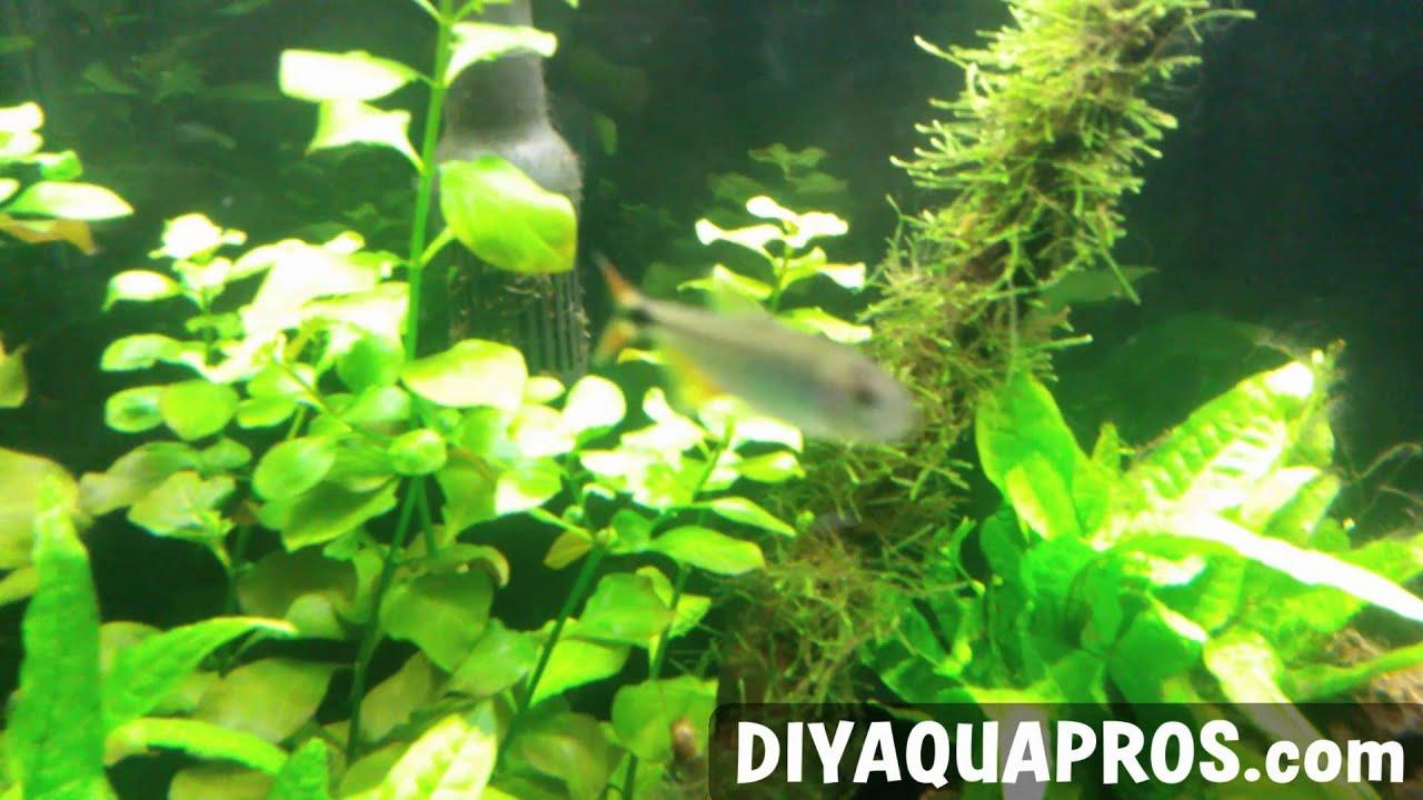 Freshwater aquarium fish profiles - Buenos Aires Tetra Care Freshwater Fish Profile