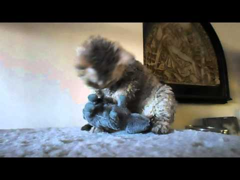 Azirium Fêlés cute Selkirk Rex homozygous kitten plays with a mouse