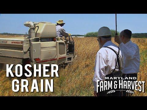 Growing Kosher Grain for Jewish Holidays   Maryland Farm & Harvest