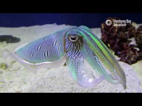 Kisslip Cuttlefish Changing Colors In Inkredible Mating Displays! | The Critter Corner