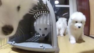 Щенята Самоедской Собаки
