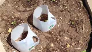 Grow Milkweed Plants In Your Butterfly Garden