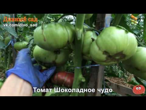 Вопрос: Какие характеристики томата Шоколадный shy , что за сорт?