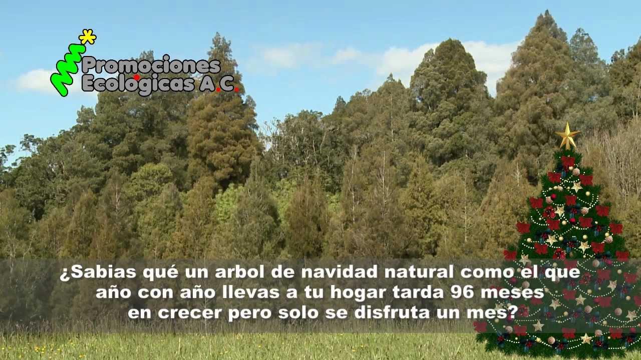 rboles de navidad en maceta en el estado de mxico
