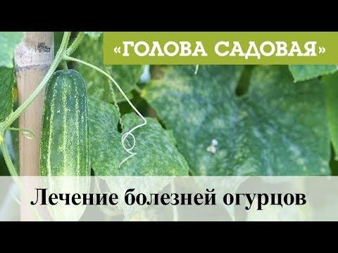 Голова садовая - Лечение болезней огурцов
