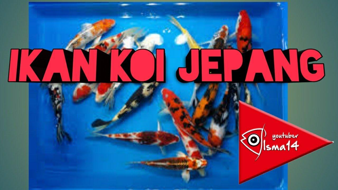 Koi Jepang Asli