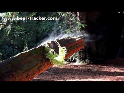 Redwood Forest Steaming after Rain Storm