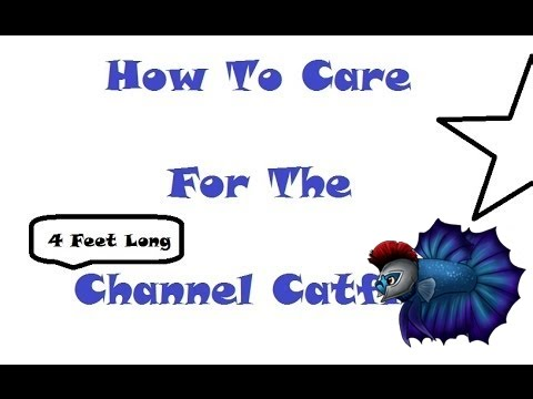How To Care For The Channel Catfish- Blue Channel plus Albino Channel Catfish from YouTube · High Definition · Duration:  4 minutes 57 seconds  · 2,000+ views · uploaded on 4/8/2014 · uploaded by MA FishGuy